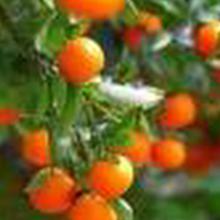 Citrus reticulata blanco var. 'mandarin'