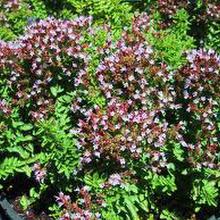 Origanum marjorana