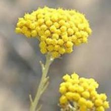 Helichrysum angustifolium