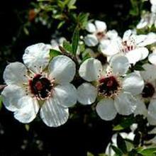 Leptospermum ericoides