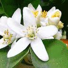 Citrus aurantium var. amara